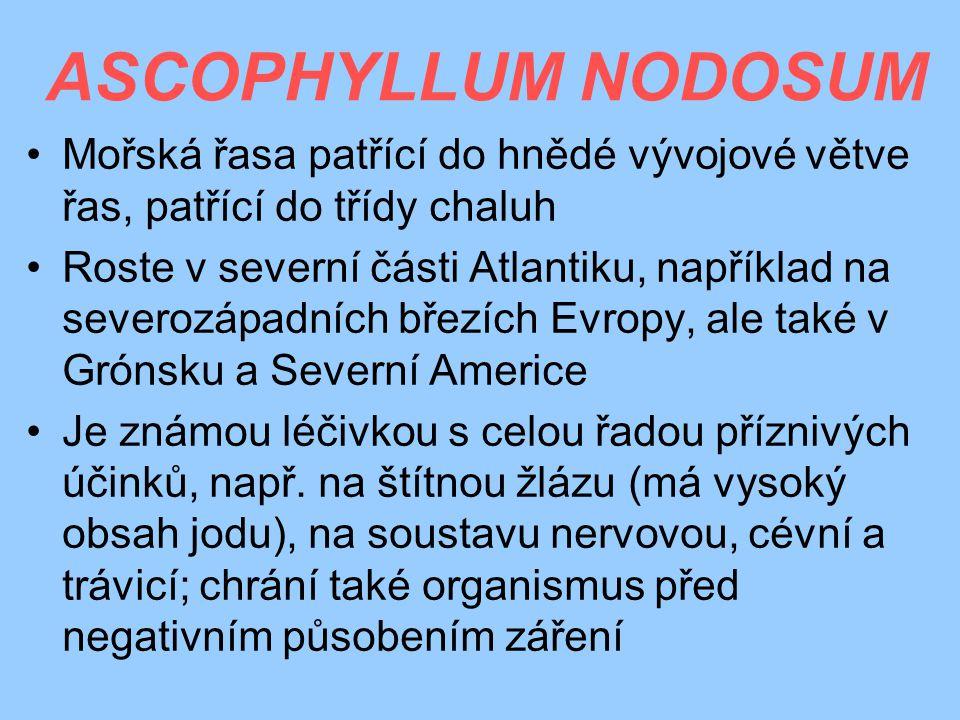 ASCOPHYLLUM NODOSUM Mořská řasa patřící do hnědé vývojové větve řas, patřící do třídy chaluh.