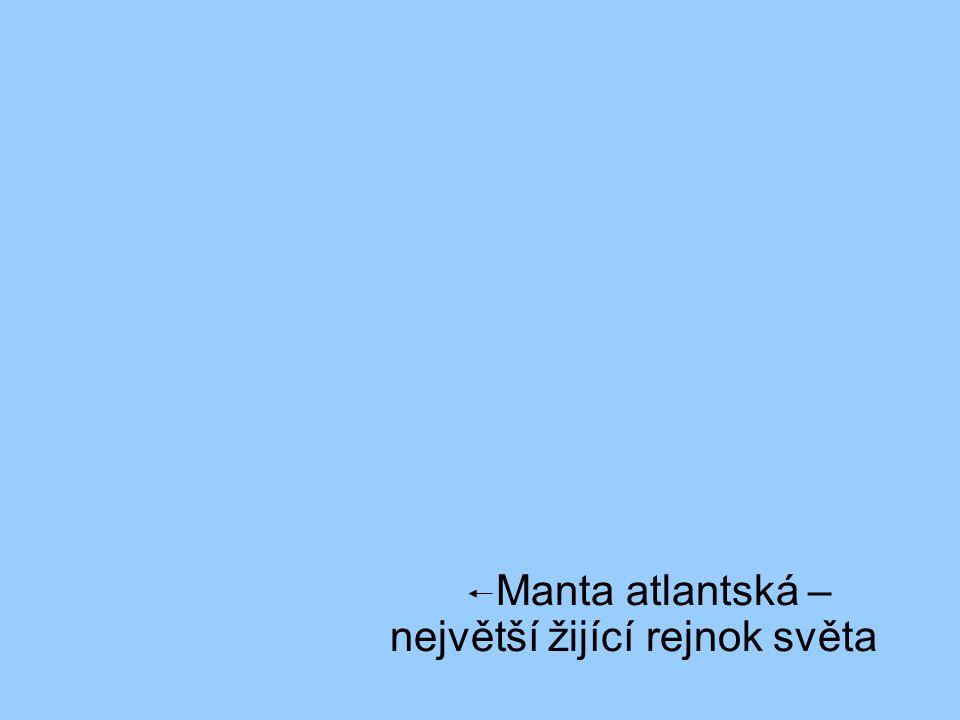 Manta atlantská – největší žijící rejnok světa
