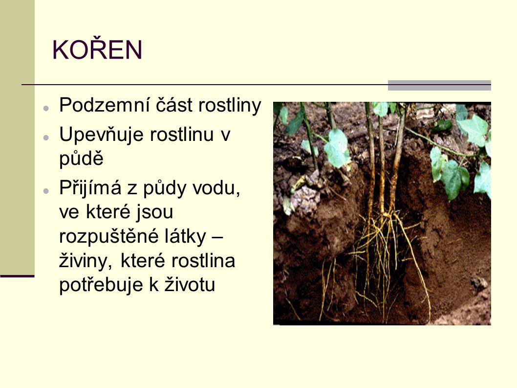 KOŘEN Podzemní část rostliny Upevňuje rostlinu v půdě
