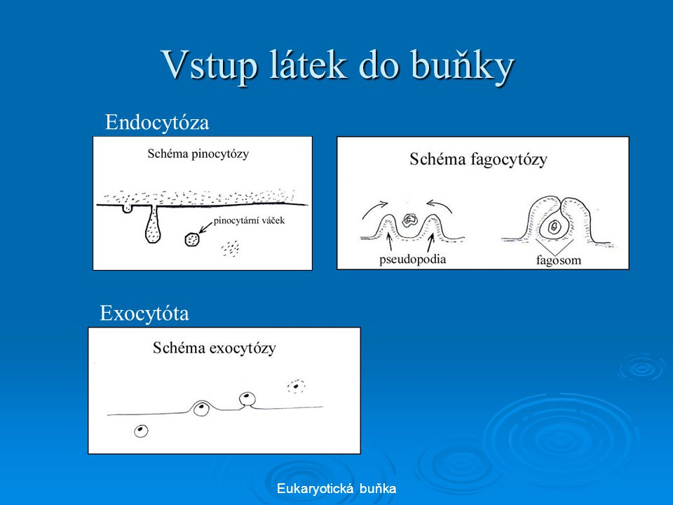Vstup látek do buňky Endocytóza Exocytóta Eukaryotická buňka