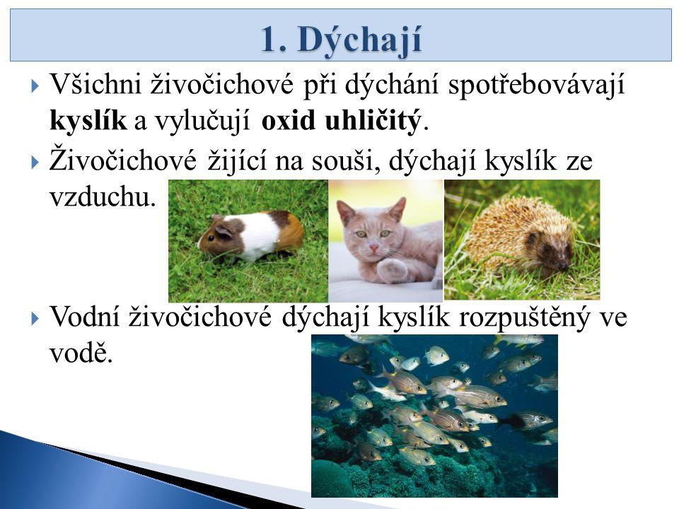 1. Dýchají Všichni živočichové při dýchání spotřebovávají kyslík a vylučují oxid uhličitý. Živočichové žijící na souši, dýchají kyslík ze vzduchu.