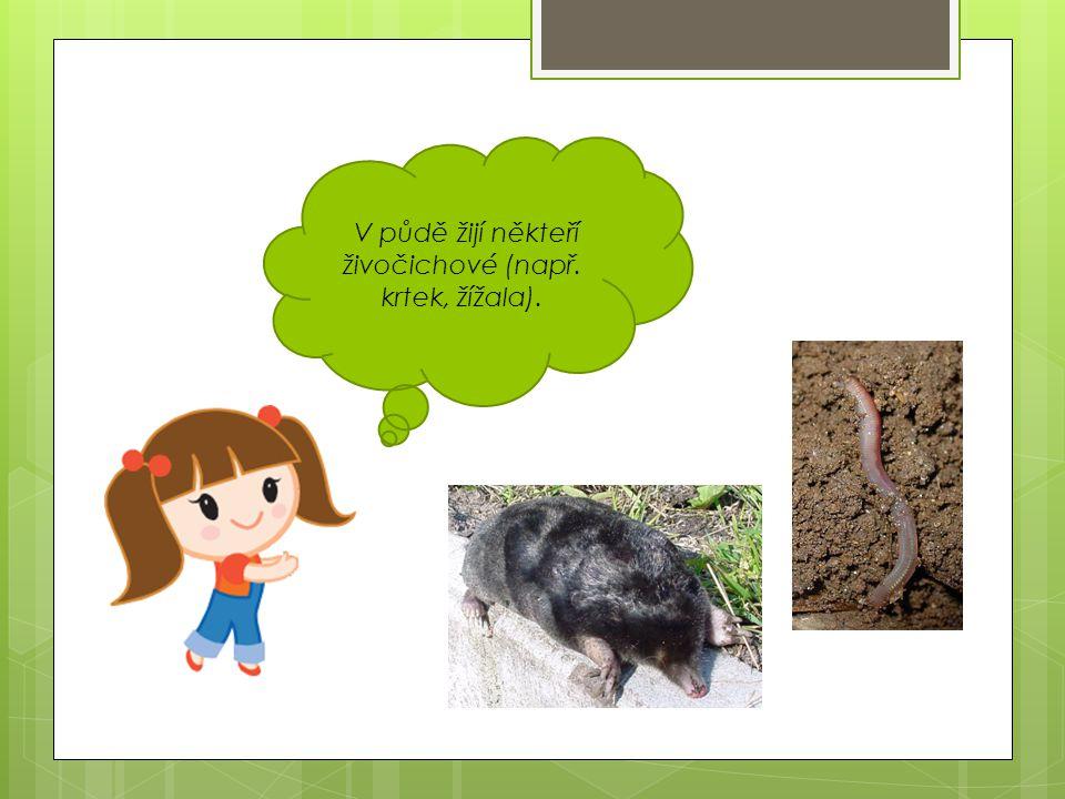 V půdě žijí někteří živočichové (např. krtek, žížala).