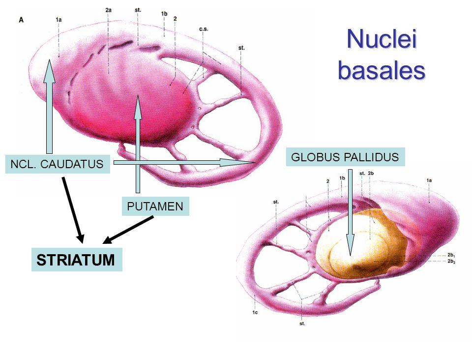 Nuclei basales GLOBUS PALLIDUS NCL. CAUDATUS PUTAMEN STRIATUM