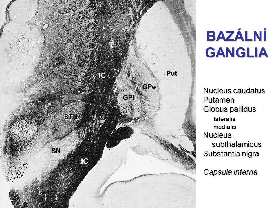 BAZÁLNÍ GANGLIA Nucleus caudatus Putamen Globus pallidus lateralis