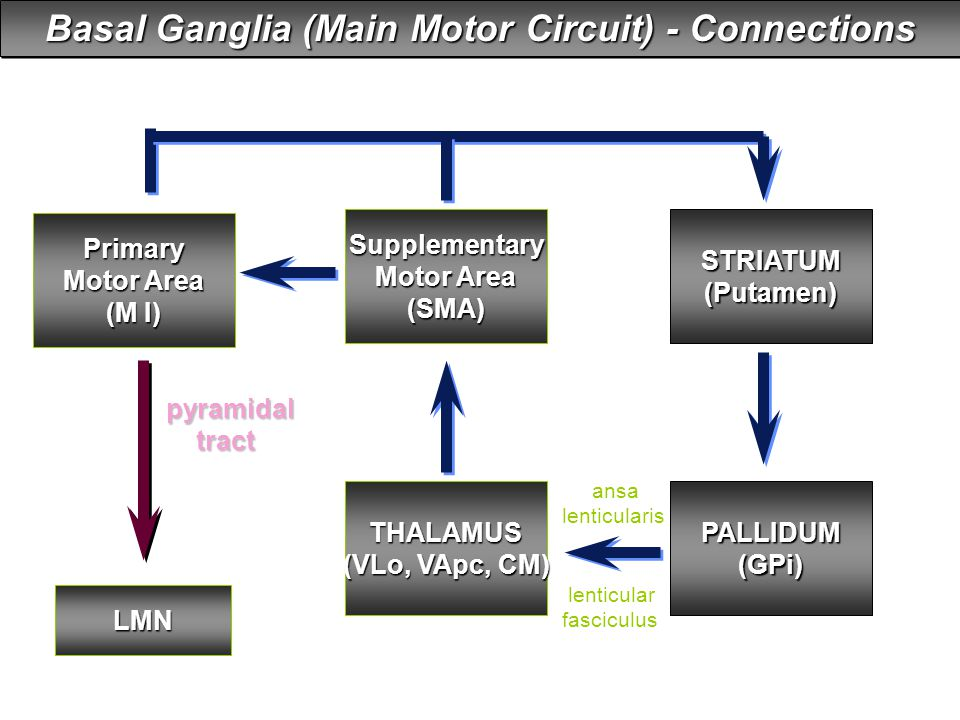 Basal Ganglia (Main Motor Circuit) - Connections