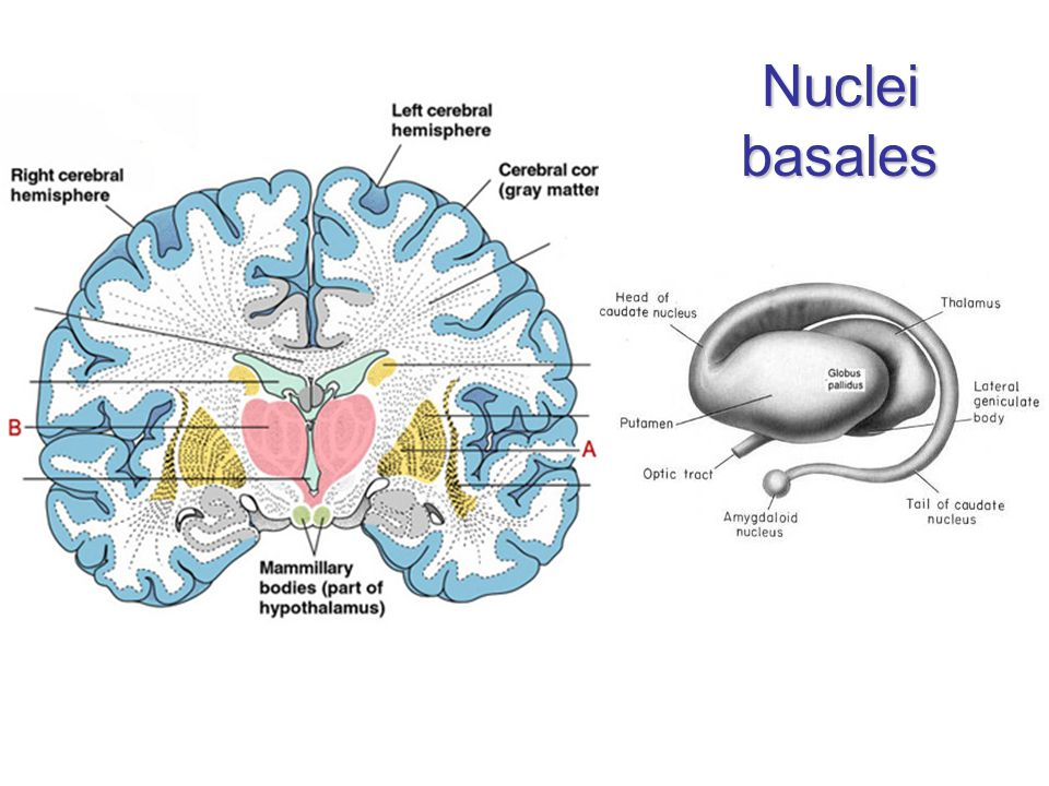 Nuclei basales