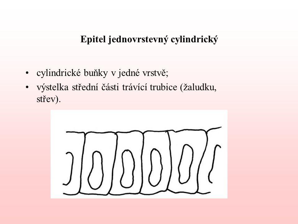 Epitel jednovrstevný cylindrický