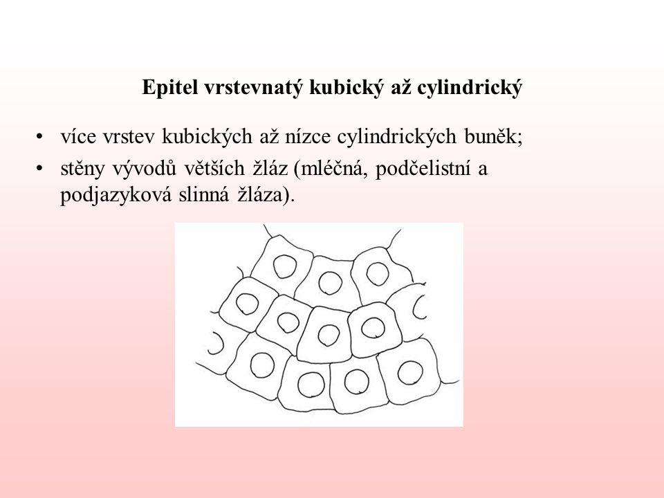Epitel vrstevnatý kubický až cylindrický