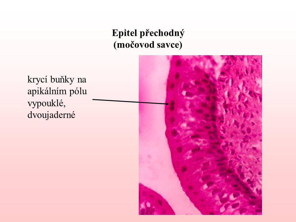 Epitel přechodný (močovod savce)