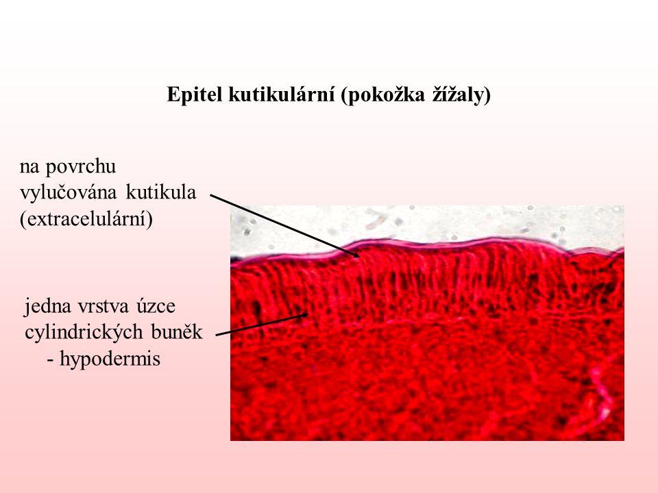 Epitel kutikulární (pokožka žížaly)