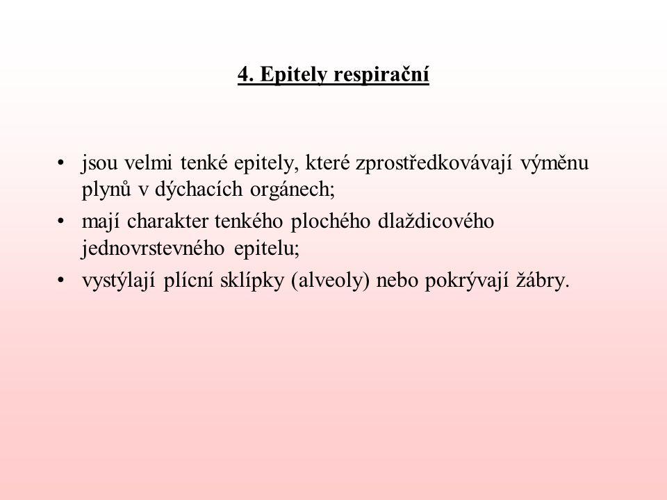 4. Epitely respirační jsou velmi tenké epitely, které zprostředkovávají výměnu plynů v dýchacích orgánech;