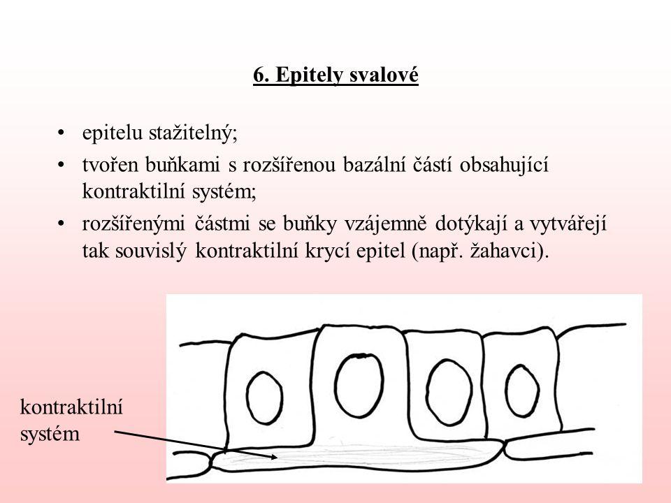 6. Epitely svalové epitelu stažitelný; tvořen buňkami s rozšířenou bazální částí obsahující kontraktilní systém;