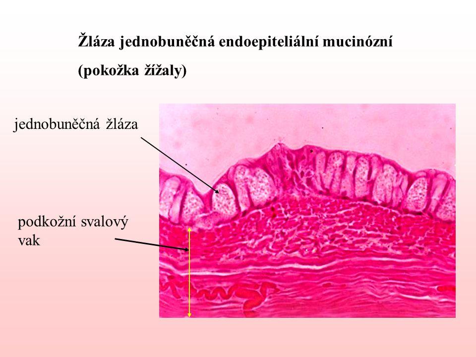 Žláza jednobuněčná endoepiteliální mucinózní