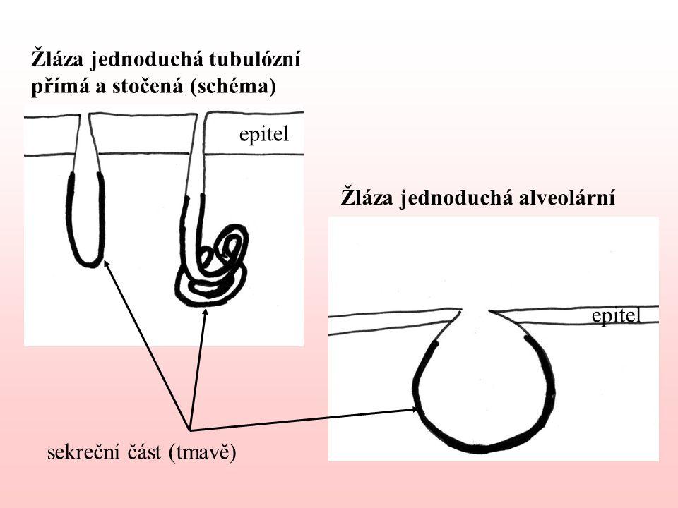 Žláza jednoduchá tubulózní přímá a stočená (schéma)