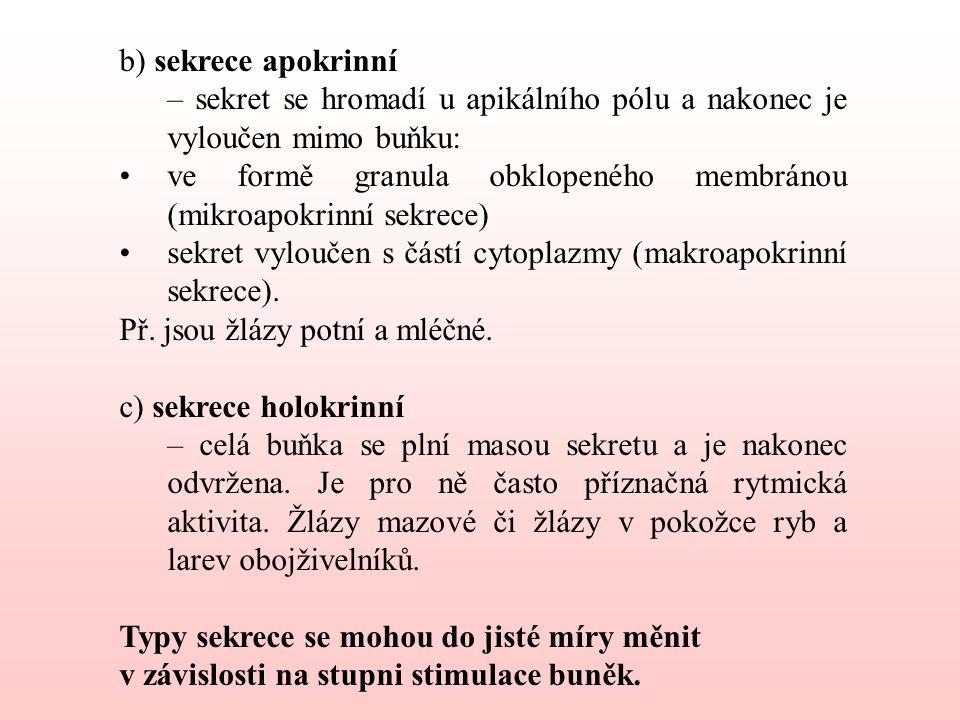 b) sekrece apokrinní – sekret se hromadí u apikálního pólu a nakonec je vyloučen mimo buňku:
