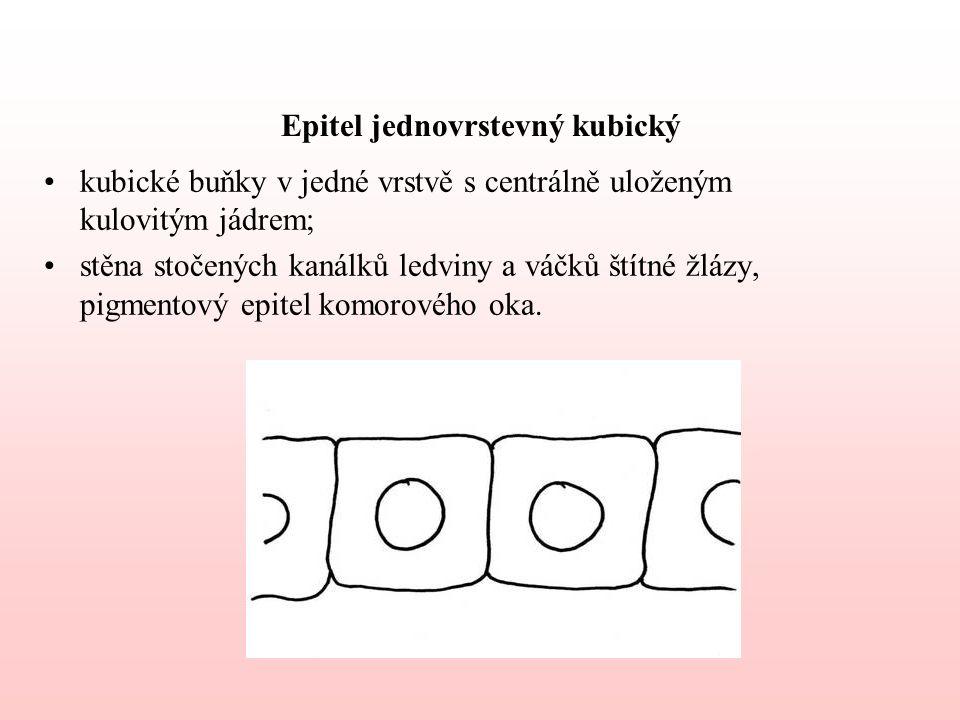 Epitel jednovrstevný kubický
