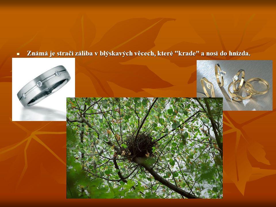 Známá je stračí záliba v blýskavých věcech, které krade a nosí do hnízda.