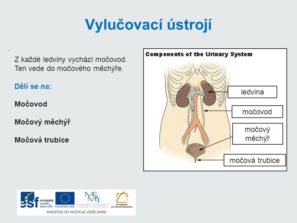 Vylučovací ústrojí Z každé ledviny vychází močovod.