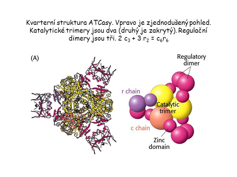 Kvarterní struktura ATCasy. Vpravo je zjednodušený pohled