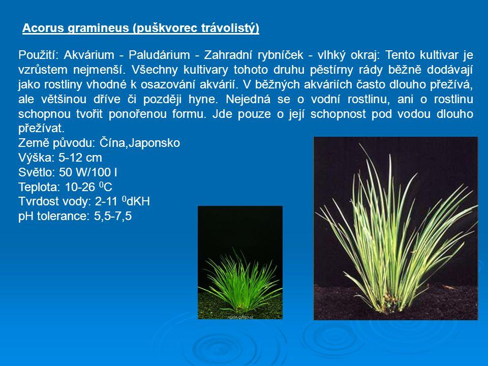 Acorus gramineus (puškvorec trávolistý)