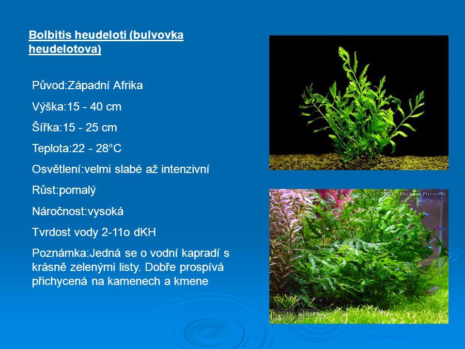 Bolbitis heudeloti (bulvovka heudelotova)