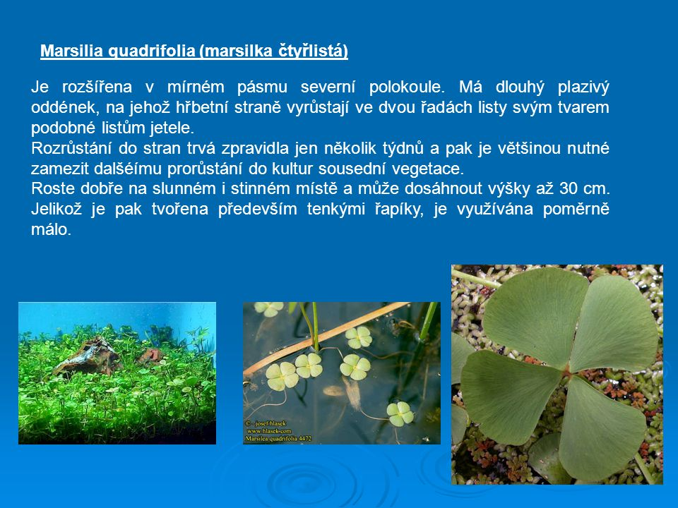 Marsilia quadrifolia (marsilka čtyřlistá)