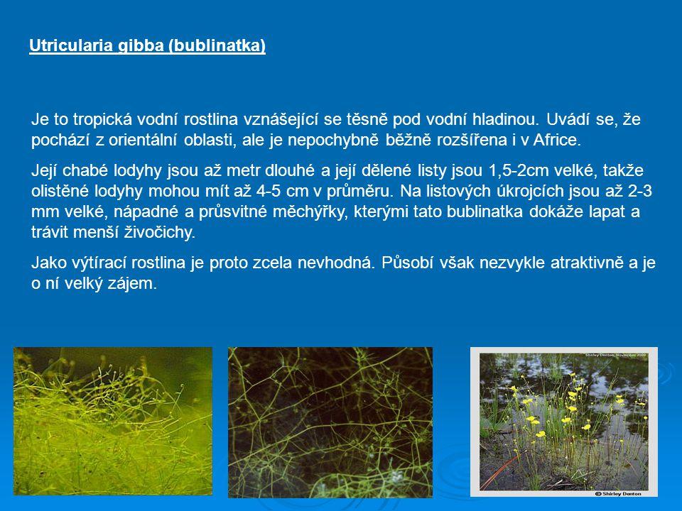 Utricularia gibba (bublinatka)