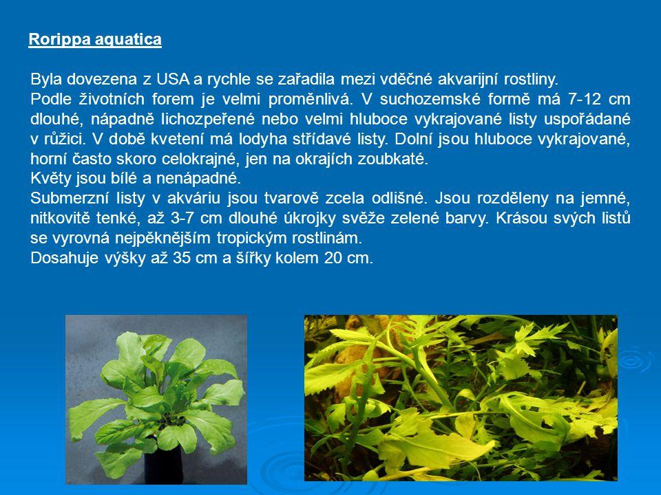 Rorippa aquatica Byla dovezena z USA a rychle se zařadila mezi vděčné akvarijní rostliny.