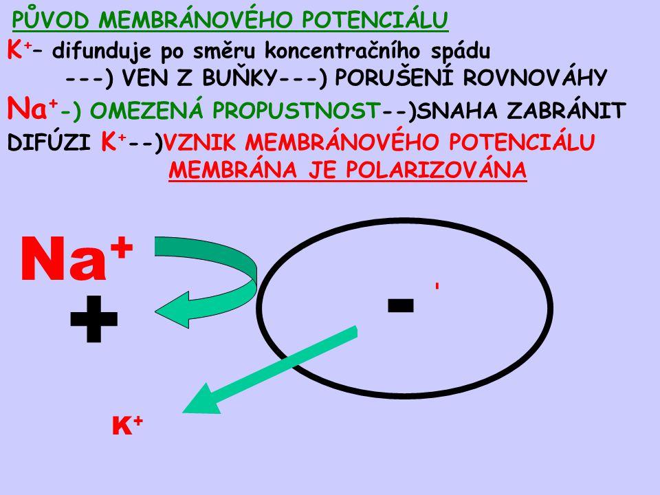 + - Na+ K+ Na+-) OMEZENÁ PROPUSTNOST--)SNAHA ZABRÁNIT