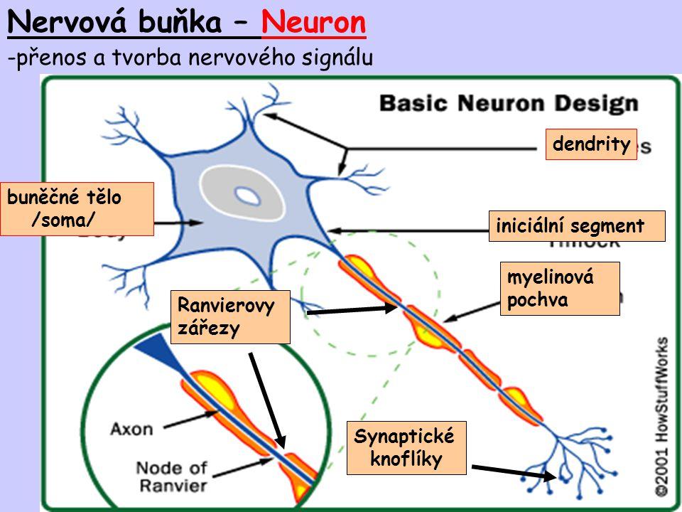 Nervová buňka – Neuron přenos a tvorba nervového signálu dendrity