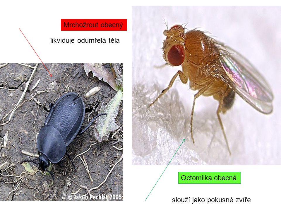 Mrchožrout obecný likviduje odumřelá těla Octomilka obecná slouží jako pokusné zvíře