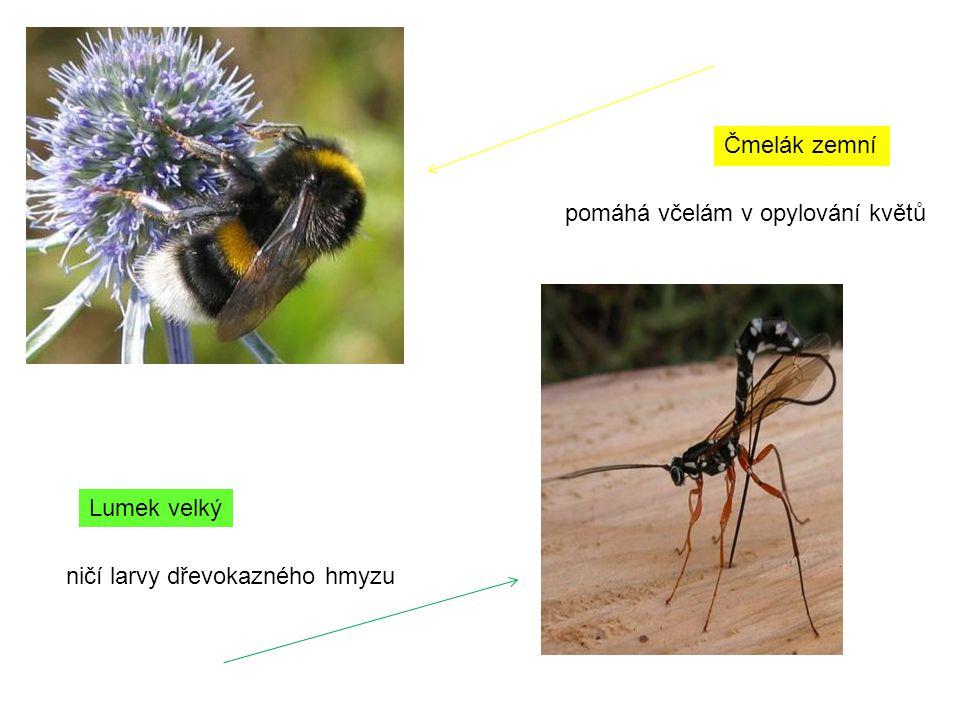 Čmelák zemní pomáhá včelám v opylování květů Lumek velký ničí larvy dřevokazného hmyzu