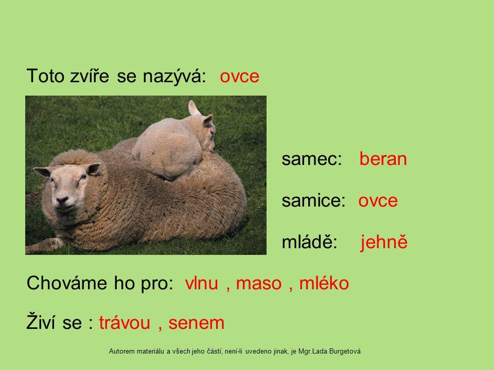 Toto zvíře se nazývá: ovce samec: beran samice: ovce mládě: jehně Chováme ho pro: vlnu , maso , mléko Živí se : trávou , senem
