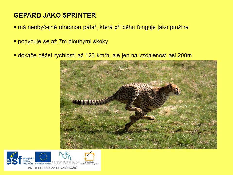 GEPARD JAKO SPRINTER má neobyčejně ohebnou páteř, která při běhu funguje jako pružina. pohybuje se až 7m dlouhými skoky.