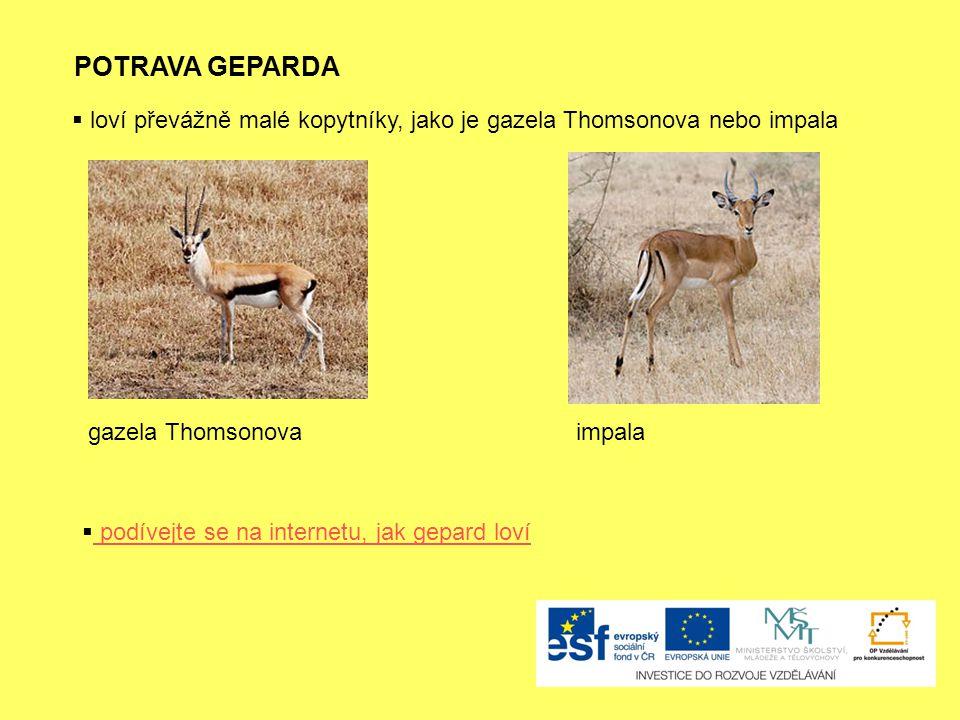 POTRAVA GEPARDA loví převážně malé kopytníky, jako je gazela Thomsonova nebo impala. gazela Thomsonova.