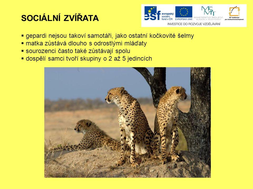 SOCIÁLNÍ ZVÍŘATA gepardi nejsou takoví samotáři, jako ostatní kočkovité šelmy. matka zůstává dlouho s odrostlými mláďaty.