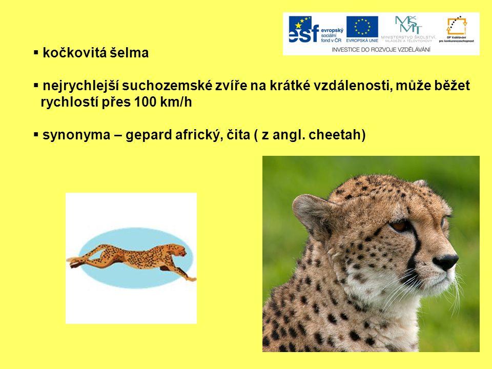 kočkovitá šelma nejrychlejší suchozemské zvíře na krátké vzdálenosti, může běžet. rychlostí přes 100 km/h.