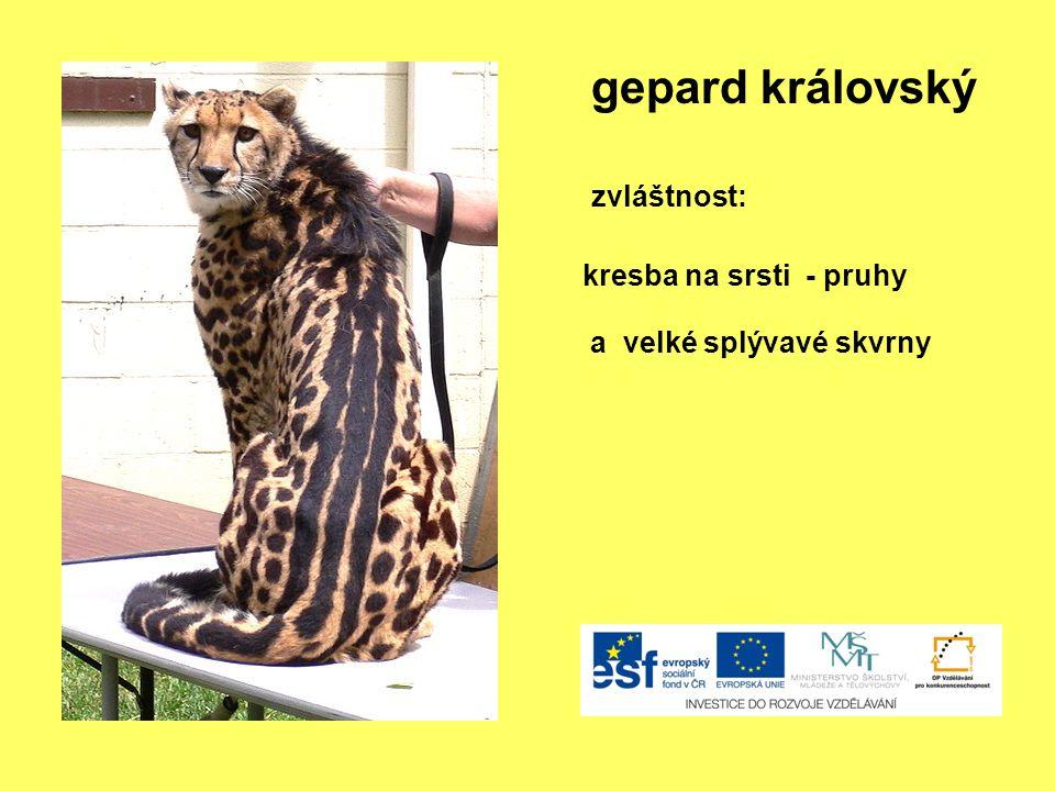 gepard královský zvláštnost: kresba na srsti - pruhy