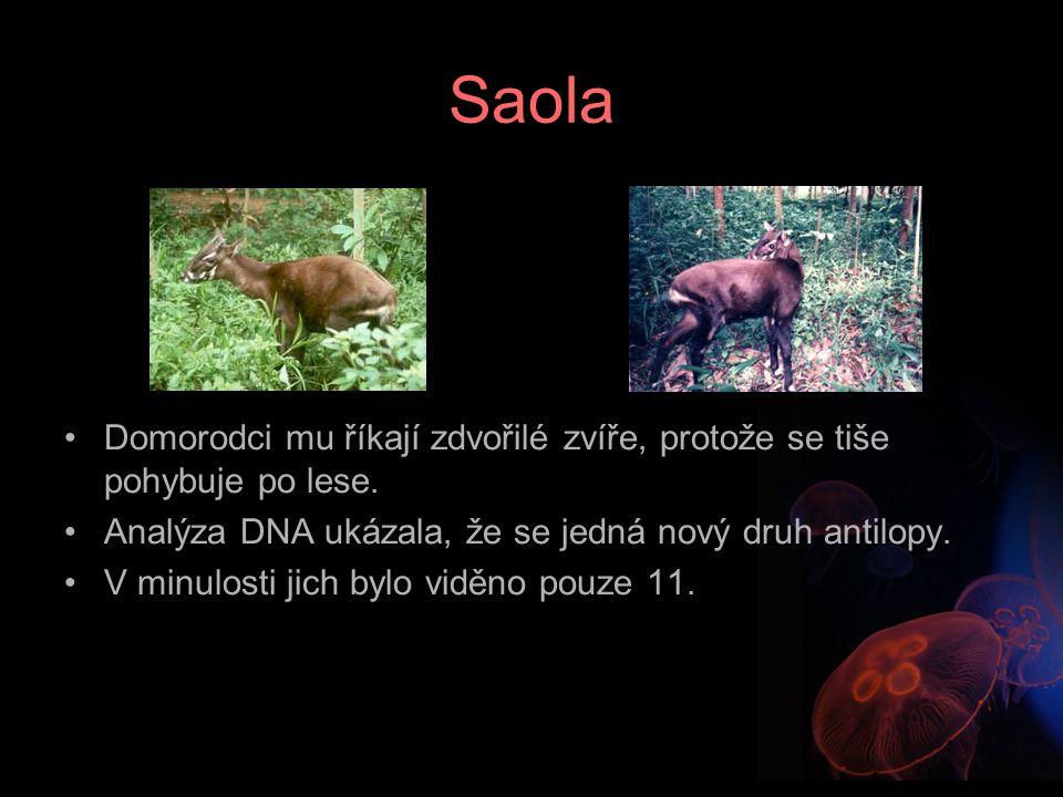 Saola Domorodci mu říkají zdvořilé zvíře, protože se tiše pohybuje po lese. Analýza DNA ukázala, že se jedná nový druh antilopy.