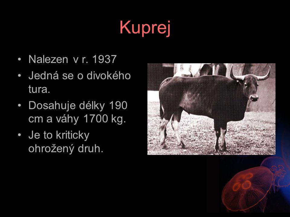 Kuprej Nalezen v r. 1937 Jedná se o divokého tura.