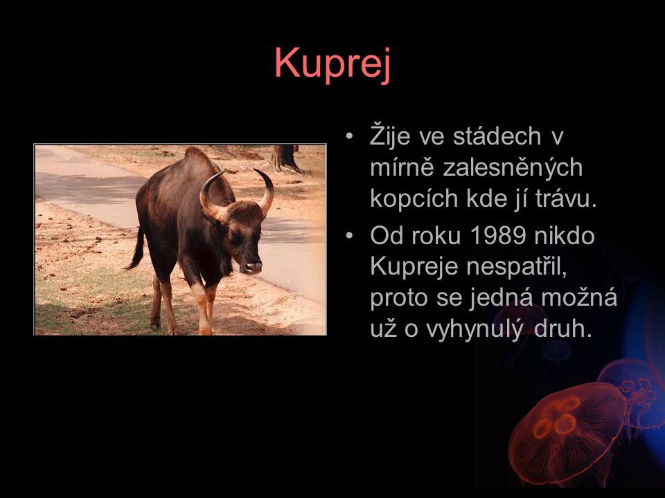 Kuprej Žije ve stádech v mírně zalesněných kopcích kde jí trávu.