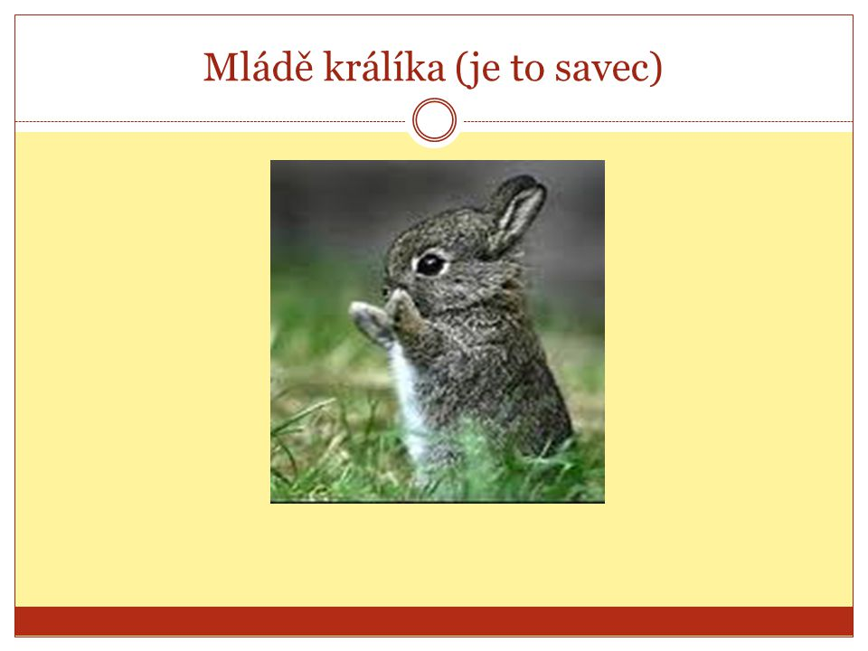 Mládě králíka (je to savec)
