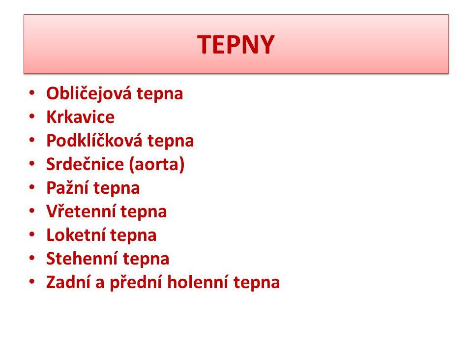 TEPNY Obličejová tepna Krkavice Podklíčková tepna Srdečnice (aorta)