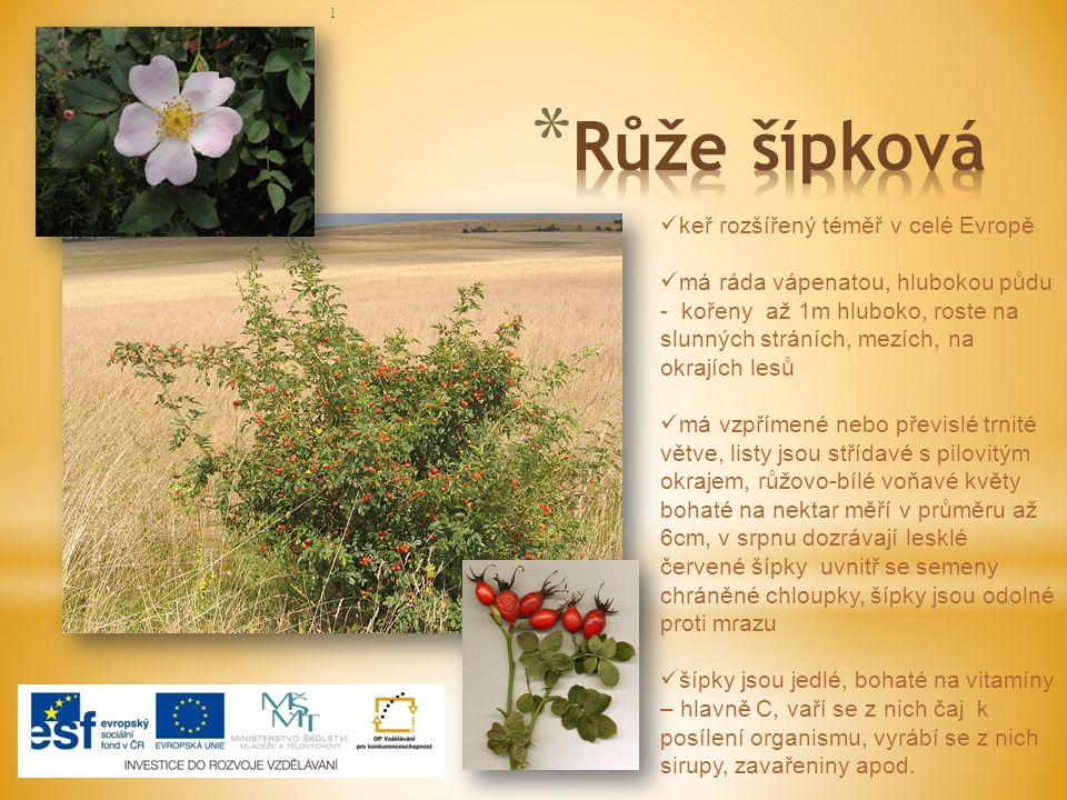 Růže šípková keř rozšířený téměř v celé Evropě