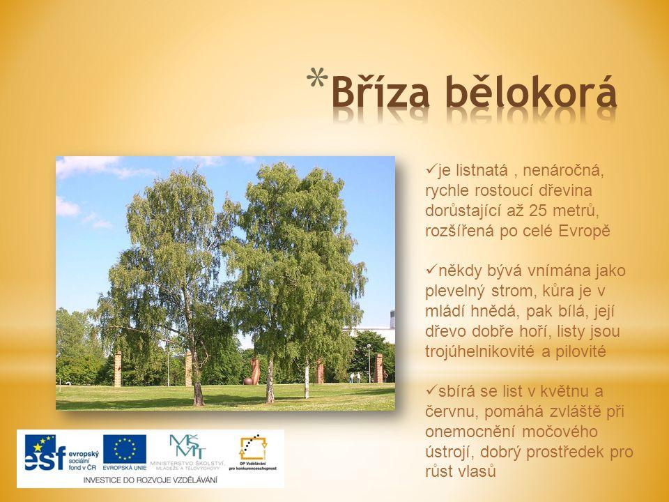 Bříza bělokorá je listnatá , nenáročná, rychle rostoucí dřevina dorůstající až 25 metrů, rozšířená po celé Evropě.