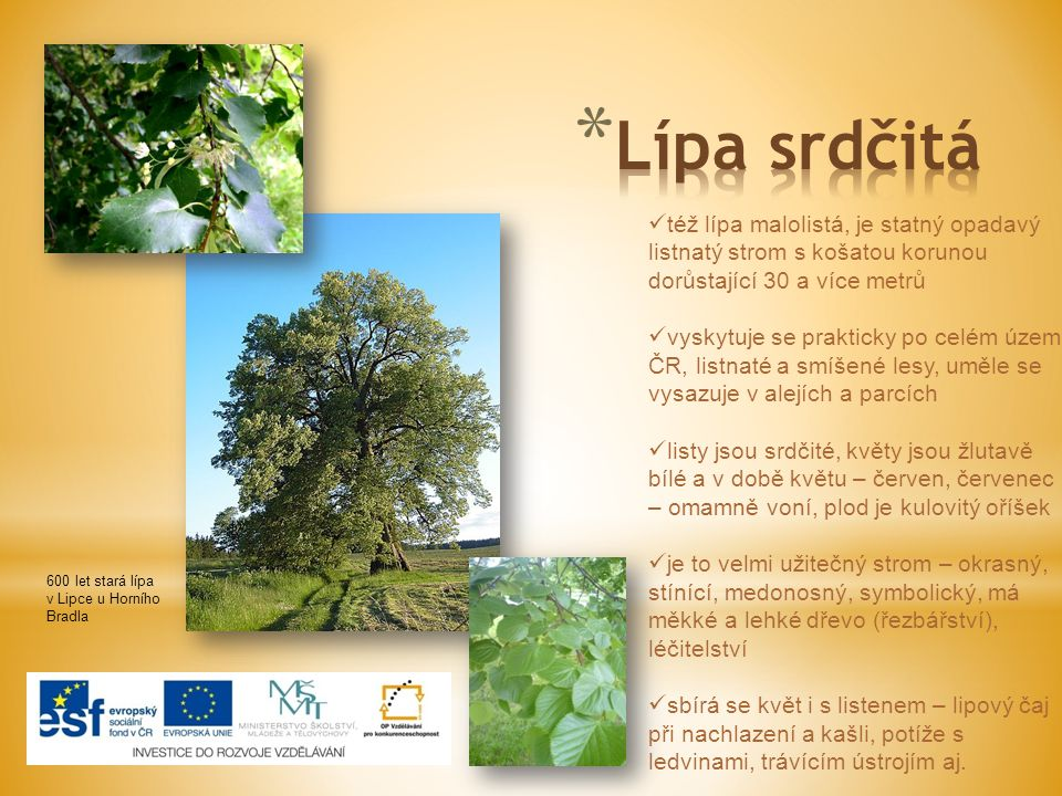 Lípa srdčitá též lípa malolistá, je statný opadavý listnatý strom s košatou korunou dorůstající 30 a více metrů.