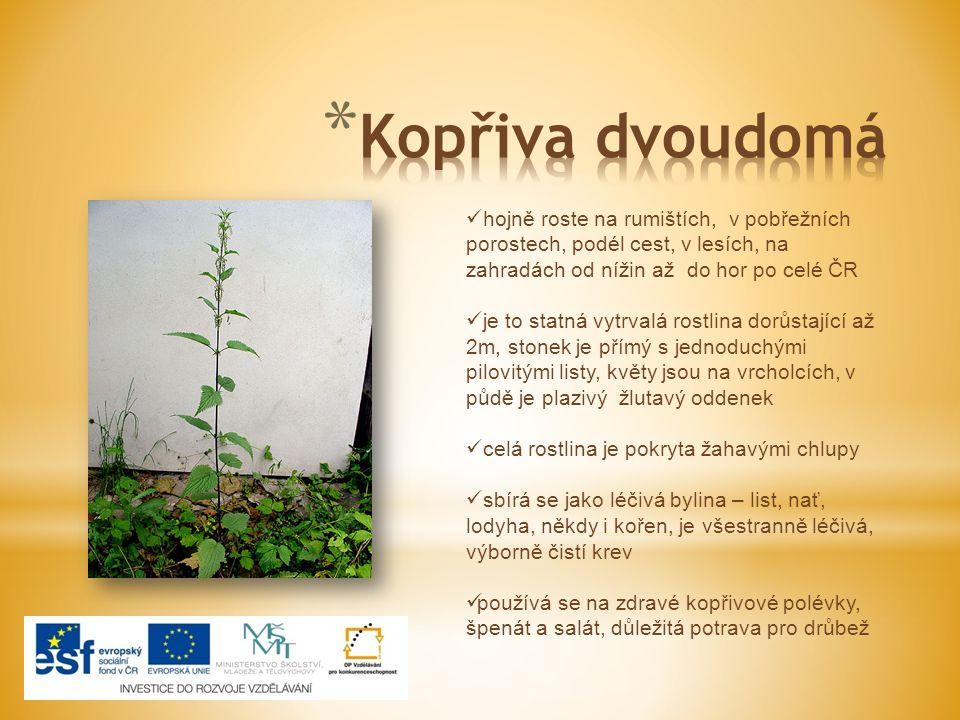 Kopřiva dvoudomá hojně roste na rumištích, v pobřežních porostech, podél cest, v lesích, na zahradách od nížin až do hor po celé ČR.