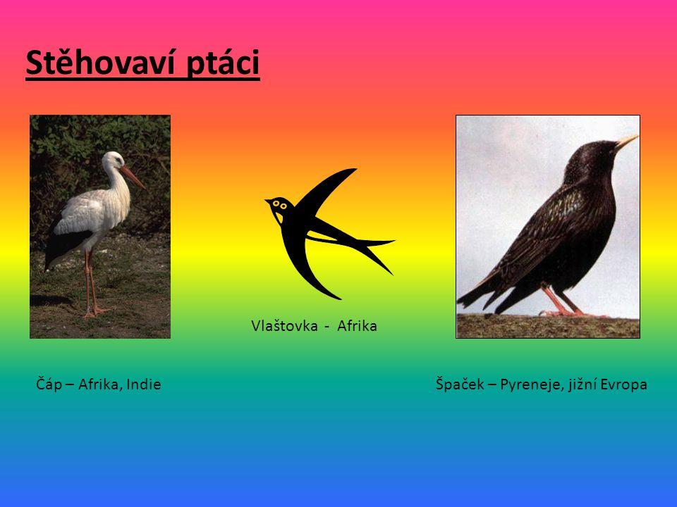 Stěhovaví ptáci Vlaštovka - Afrika Čáp – Afrika, Indie