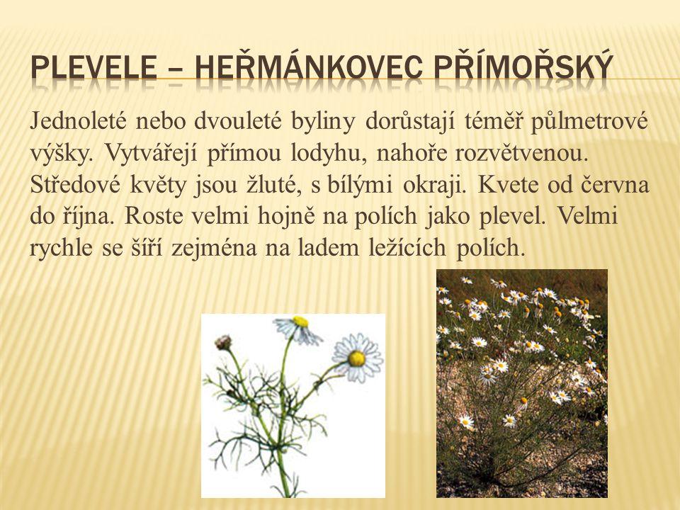 plevele – heřmánkovec přímořský