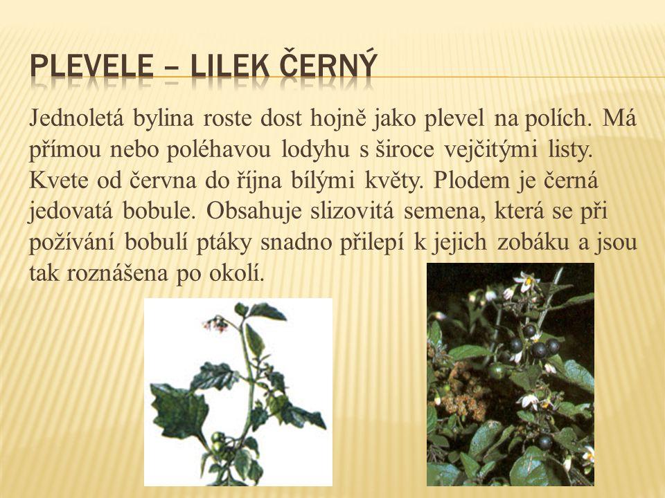 plevele – lilek černý